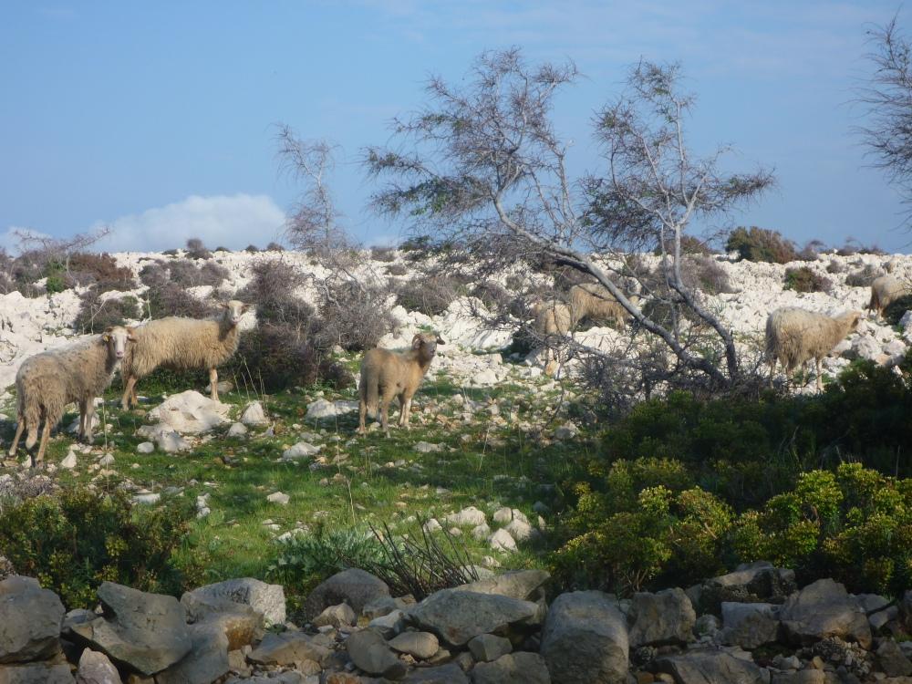 Žije zde spousta ovcí. Jejich jediný přirozený nepřítel jsou kusy ostnatého drátu a rezavé hřebíky