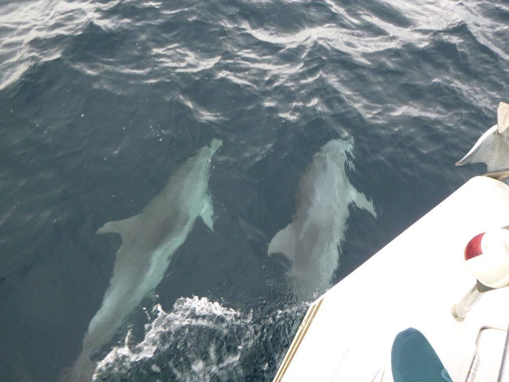 Delfíni u Pašmanu
